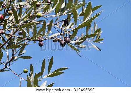 Black Olives In A Olive Tree Branch. Olive Tree With Black Olives, Close Up. Concept Of Olives, Trad