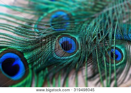Peacock feathers on a table. Feather eyespots of an blue peafowl (Pavo cristatus)or an Indian peafowl. The fluorescent colors are created by crystal-like structural color.