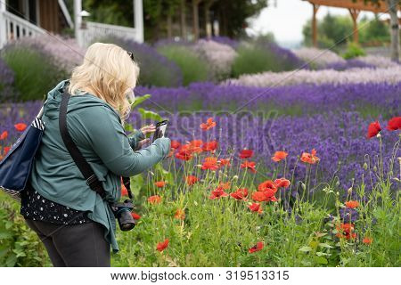 Woman (30-35 Years) Uses A Smart Phone To Take Photos Of The Lavender Flowers And Poppies