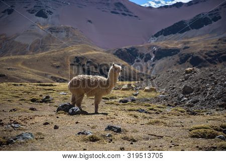 Alpaca Grazing In The Highlands Of The Andes Near The Rainbow Mountain And Red Valley, Peru