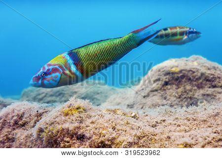 Ornate Wrasse (thalassoma Pavo) Colorful Fish Underwater