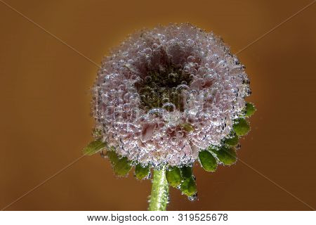 Beautiful Flower Astra Under Water Are Covered With Air Bubbles Close-up Shot The