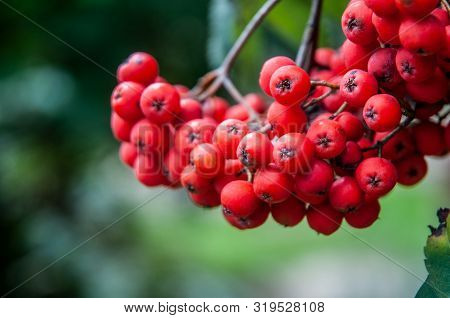 Close-up Of Red Ripe Ashberries, Fruits Of Sorbus Aucuparia Hanging On Tree