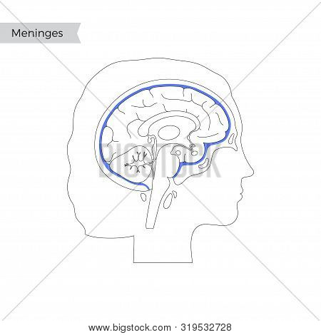 Vector Isolated Illustration Of Meninges In Woman Head. Human Brain Components Detailed Anatomy. Med