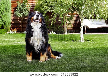 Happy Bernese Mountain Dog Sitting In The Yard Of The House In Summer