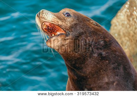 California Sea Lion (zalophus Californianus) With Open Mouth In Monterey. California. Usa