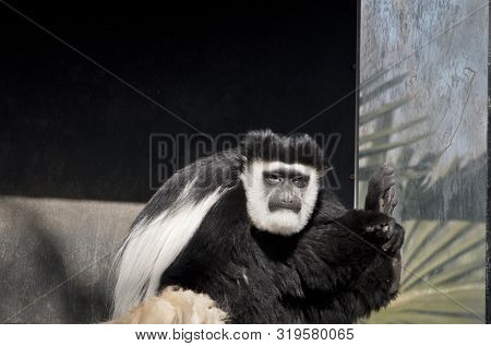 The Black And White Colobus Is Sitting Resting