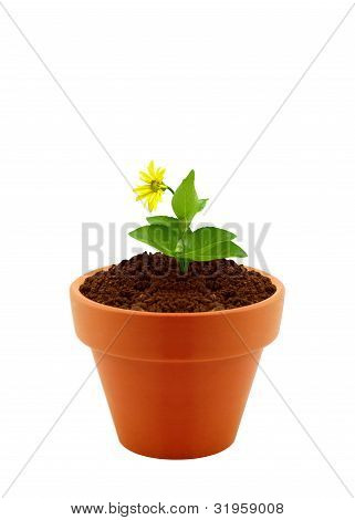 Flower In Clay Pot