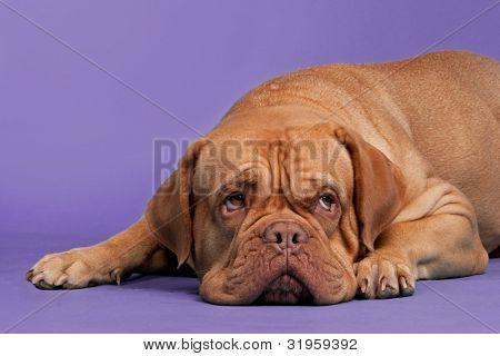Dogue De Bordeaux lying against purple background