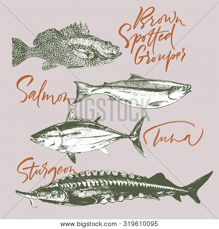Three Delicates Fish. Tuna, Salmon, Brown Spotted Grouper, Sturgeon. Hand Drawn With Brush And Ink D
