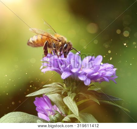 Busy Bee Feeding In Summer Garden On Purple Flower Petals Macro Close-up Fantasy