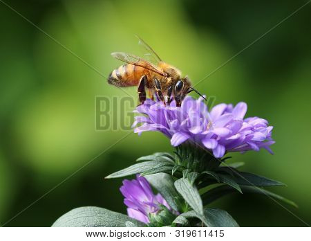 Budy Bee Feeding In Summer Garden On Purple Flower Petals Macro Close-up With Copy Space