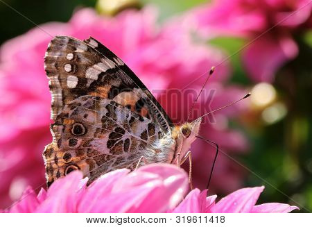 Beautiful Painted Lady Butterfly In Summer Garden On Pink Flower Petals Macro