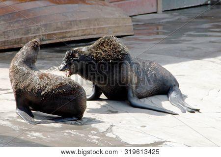 Two Fighting Northern Fur Seals, Latin Callorhinus Ursinus