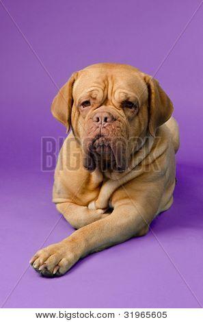 Beautiful French Mastiff against purple background