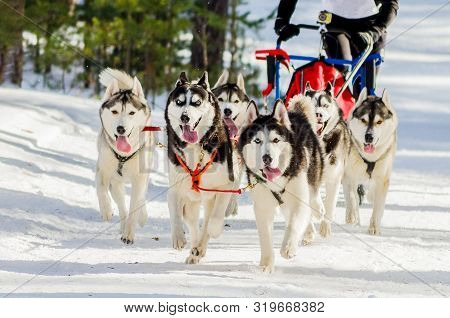Sled Dogs Race Competition. Siberian Husky Dogs In Harness. Sleigh Championship Challenge In Cold Wi