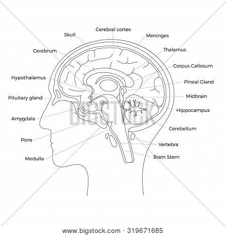 Vector Isolated Illustration Of Brain Components In Man Head. Human Brain Detailed Anatomy. Medical