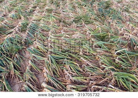 Closeup Of Organically Grown Onions With Kinked Leaves In Long Seemingly Endless Rows Drying On The