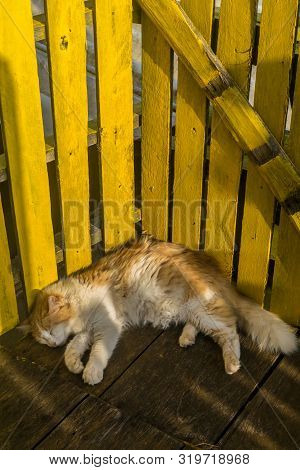 A yellow homemade wood fence, a cute fuzzy cat is sleeping using the fence as a backboard, the cat is orange in its upper part and white in its belly and legs, the face has both colors poster