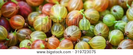 Banner. Gooseberry. Gooseberries Closeup.  Lots Of Ripe Red And Green Gooseberries. Harvest. Macro P