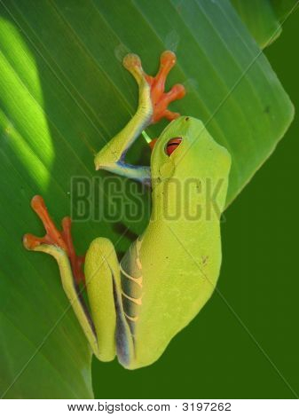 Red Eyed Tree Frog Hanging On A Leaf