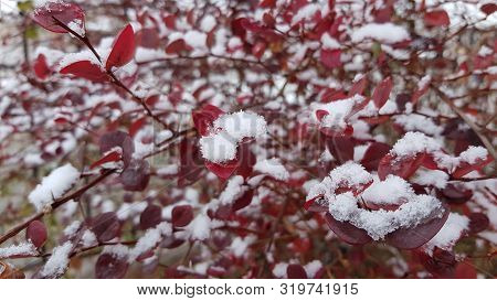 Two-colored Background Of Dark Purple Leaves Of Thorny Bush And White Fluffy Snow Grains Covered Lea