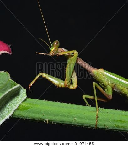 portrait of praying mantis cleaning oneself on the stem poster
