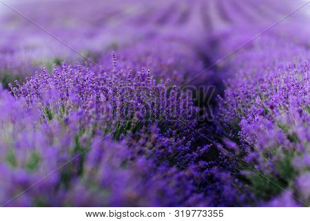 Lavender bushes closeup on sunset. Sunset gleam over purple flowers of lavender. poster