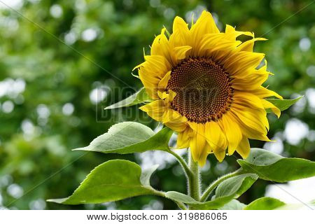 Single Flower Of A Sunflower On A Background Of Foliage
