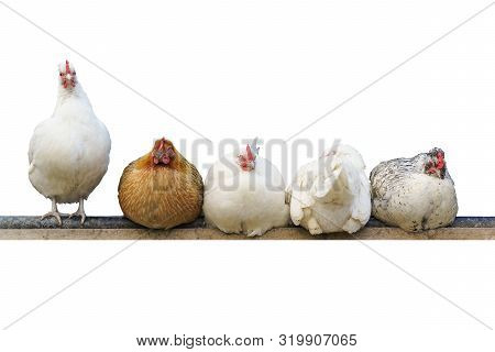 Five Different Chickens Sit And Roost. Isolated On White Background