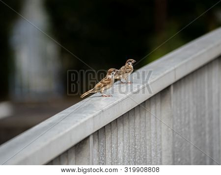 A Pair Of Eurasian Tree Sparrows, Passer Montanus, Sit On The Railing Of A Bridge Over The Saza Rive