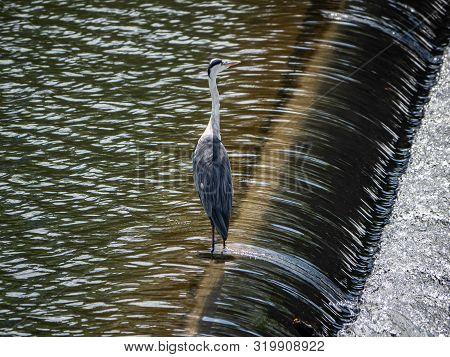 An Eastern Gray Heron, Ardea Cinerea Jouyi, Stands On A Spillway In The Saza River, Nagasaki Prefect