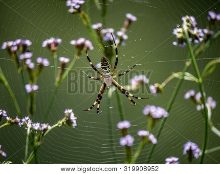 A Large Argiope Bruennichi Spider Sits In Its Web Among The Long Grass Beside The Saza River In Naga