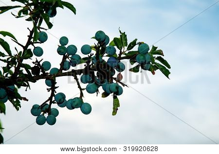 Twig With Green Leaves And Blue Sloes Of A Blackthorn Bush Against Cloudy Sky