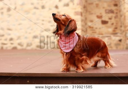 Red Longhair Dachshund Lady Standing Proudly On A Stage Like A Diva Wearing A Bandana