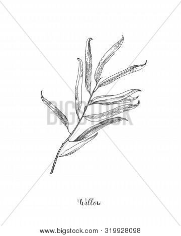 Willow Branch Line Art Vector On White Background. Willow Leaf Botanical Illustration. Willow Leaf V