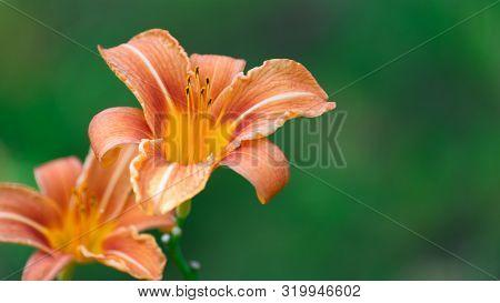Hemerocallis Fulva, Orange Daylily, Tawny Daylily, Tiger Daylily, Ditch Daylily. A Pair Of Garden Li