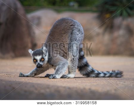 Ring Tailed Lemur (lemur Catta Linnaeus) From Madagascar Looking Into Camera While Searching Food On