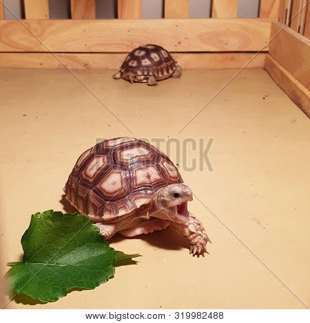 Baby Tortoise Hatching (african Spurred Tortoise), Cute Baby Animal, Slow Life, Cute Tortoise, Geoch
