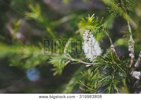 Native Australian Melaleuca Plant With White Flowers Shot At Shallow Depth Of Field