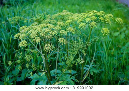 Green Umbrellas Of Hogweed. Poisonous Grass. The End Of Summer, Ripened Plants, Weed, Seeds, Grass N