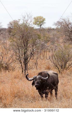Buffalo Standing In  Dry Grassland