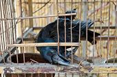 A blind crow is seeking its freedom. It is in bad condition and trying to break free by biting the wire cage over and over again. poster