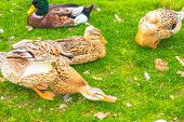 Several domestic ducks on the grass. Ducks live in a farm house, are raised and bred on it. poster