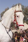 Head and shoulders of a pure white Marwari stallion poster