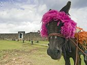 Traditional Donkey at the San Felipe Fortress in Puerto Plata, Dominican Republic poster