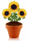 sunflower in clay pot isolated on white background. poster