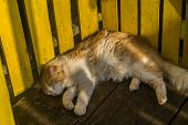 A cute orange and white cat is taking a nap on a wood floor leaning its back in a yellow wood fence, the day light covers haf of the cats body and only one half of its tail appears poster