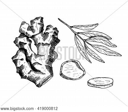 Ginger Vector Illustration. Hand Drawn Outline Black And White Ginger Root With Leaves And Slices. H