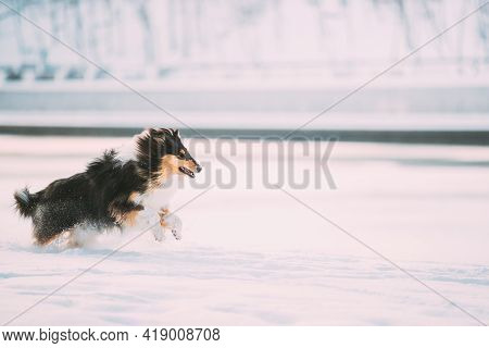 Tricolor Rough Collie Funny Scottish Collie, Long-haired Collie, English Collie, Lassie Dog Fast Run